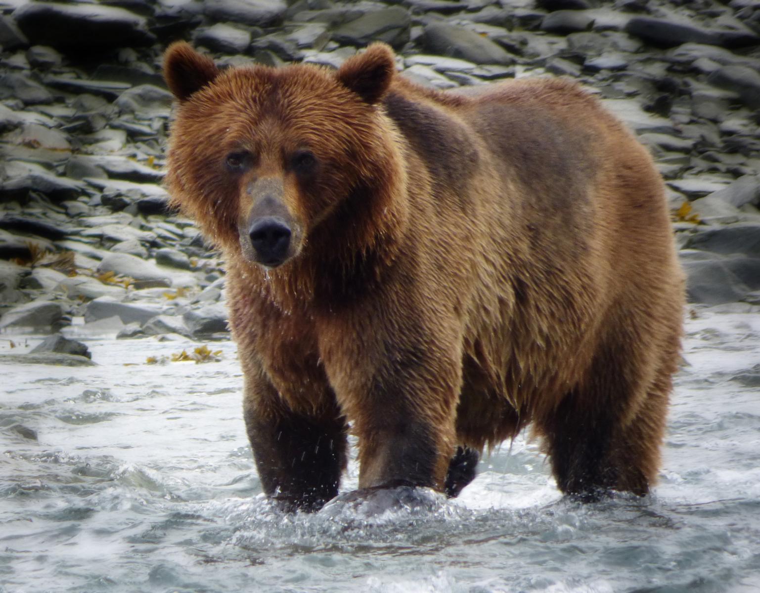 Bear_Valdez2